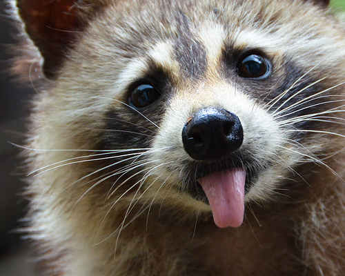 Raccoon-Sticking-Tongue-Out
